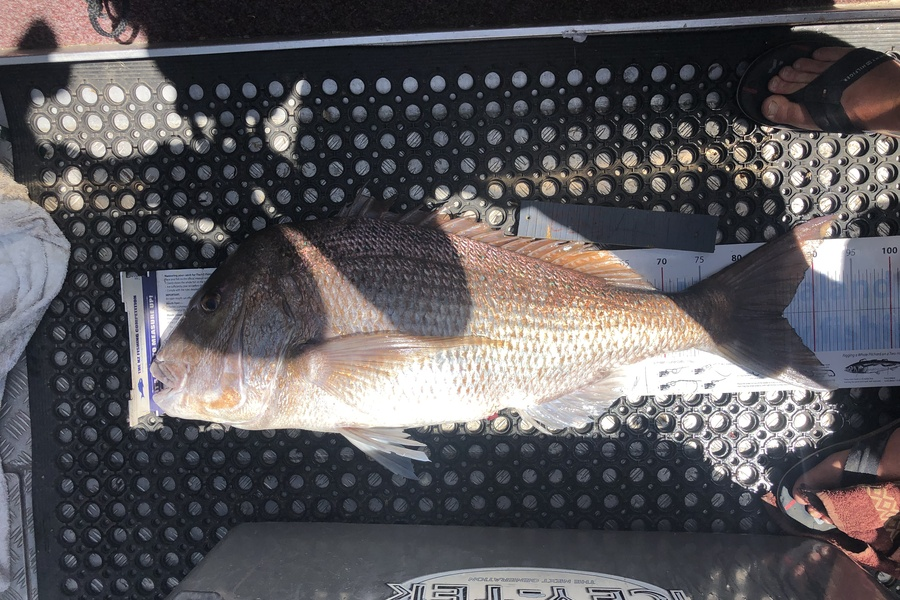 Brent Wall caught this 85.5cm Snapper at Far North during The DB Export NZ Fishing Competition