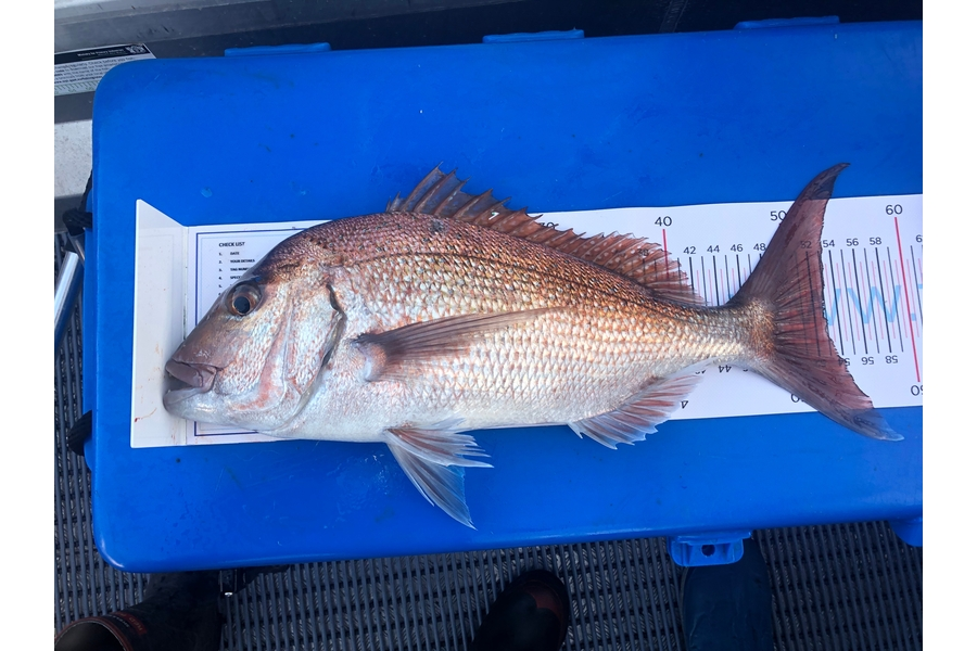 Ryan Hulse caught this 53.0cm Snapper at Houhora  during The DB Export NZ Fishing Competition
