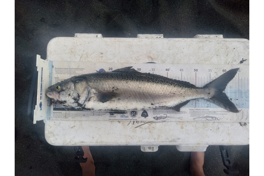 Damien Sinclair caught this 59.0cm Kahawai at Palliser Bay during The DB Export NZ Fishing Competition