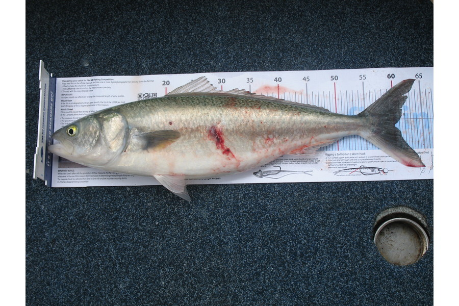 john bruce caught this 60.0cm Kahawai at kaikoura during The DB Export NZ Fishing Competition
