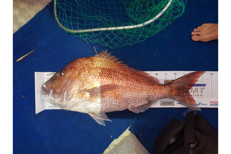 kane mcelrea caught this 77.0cm Snapper at Tutukaka during The DB Export NZ Fishing Competition