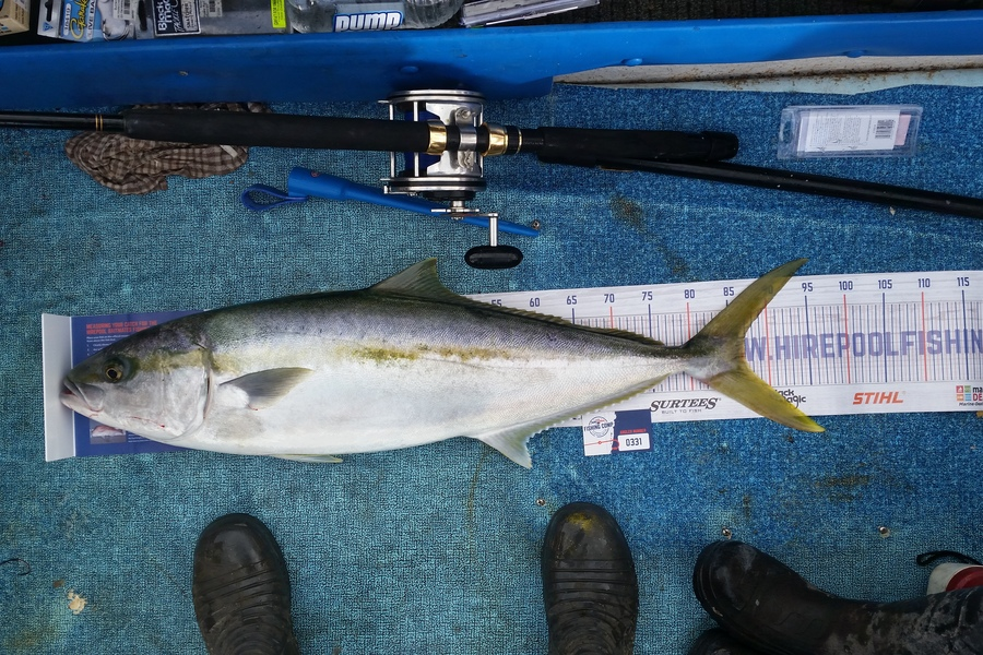 Ben Jones caught this 87.0cm Kingfish at Wellington harbour  during The DB Export NZ Fishing Competition