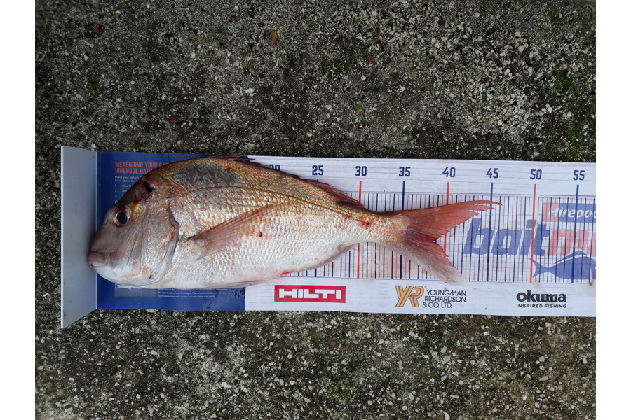 Ian Cooke caught this 39.0cm Snapper at meola reef during The DB Export NZ Fishing Competition