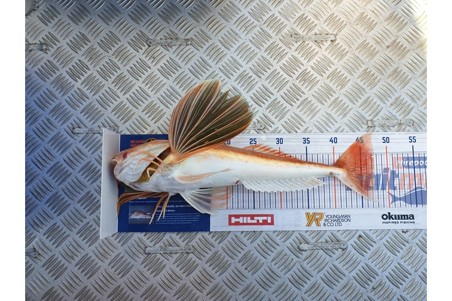 Dean Cameron caught this 47.0cm Gurnard at Taranaki  during The DB Export NZ Fishing Competition