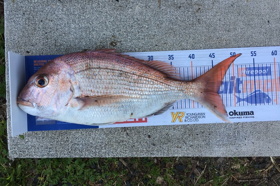 Joel Claydon caught this 46.0cm Snapper at Firth during The DB Export NZ Fishing Competition