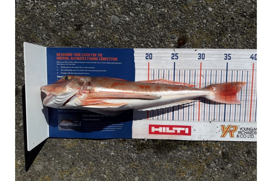 clayton hancock caught this 37.0cm Gurnard at BOP during The DB Export NZ Fishing Competition