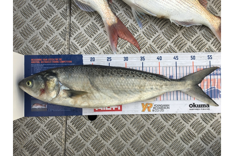 Murray Rigby caught this 51.0cm Kahawai at Napier during The DB Export NZ Fishing Competition
