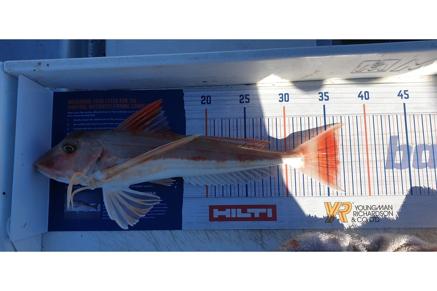 Leigh Tuuta caught this 36.0cm Gurnard at Marlborough during The DB Export NZ Fishing Competition
